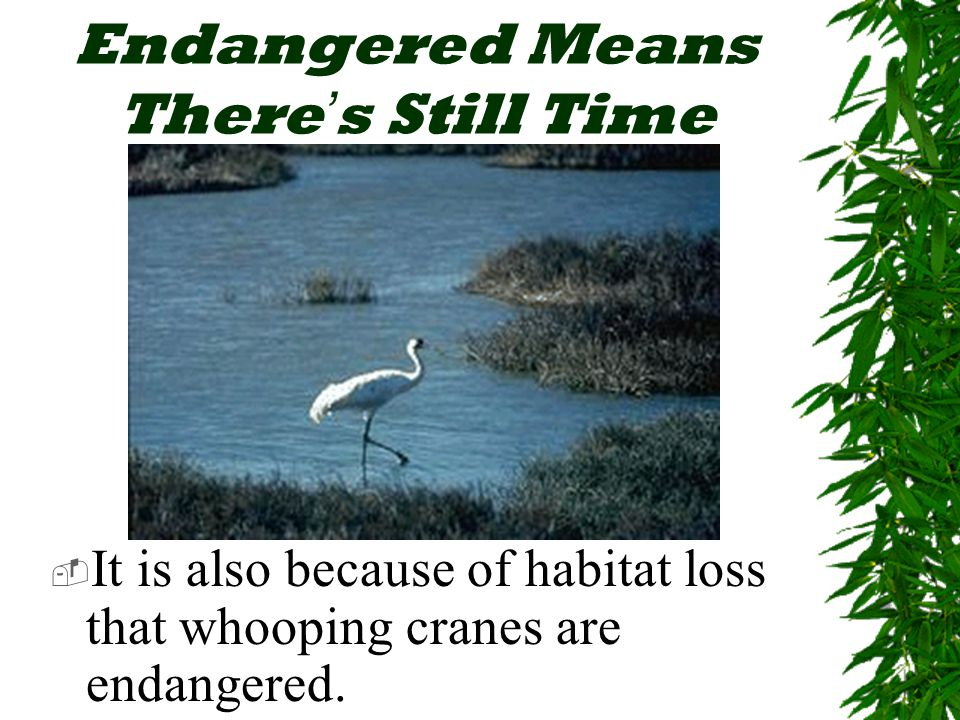 Endangered Means There ' s Still Time  It is also because of habitat loss that whooping cranes are endangered.
