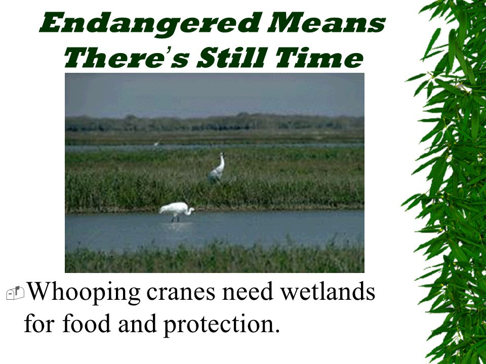 Endangered Means There ' s Still Time  Whooping cranes need wetlands for food and protection.