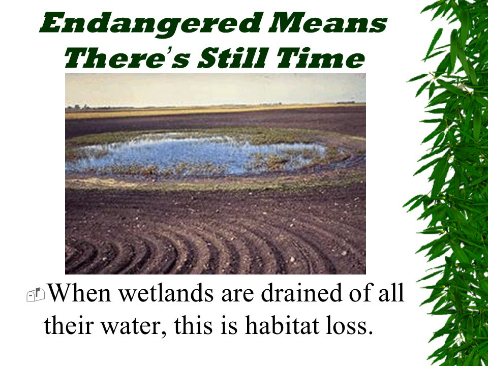Endangered Means There ' s Still Time  When wetlands are drained of all their water, this is habitat loss.