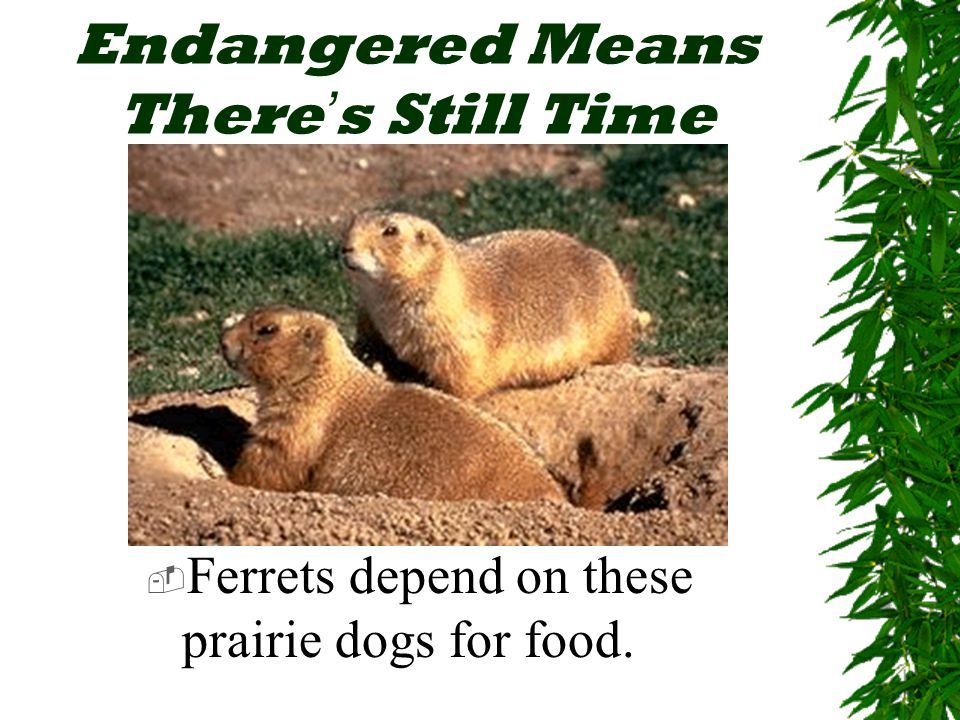 Endangered Means There ' s Still Time  Ferrets depend on these prairie dogs for food.