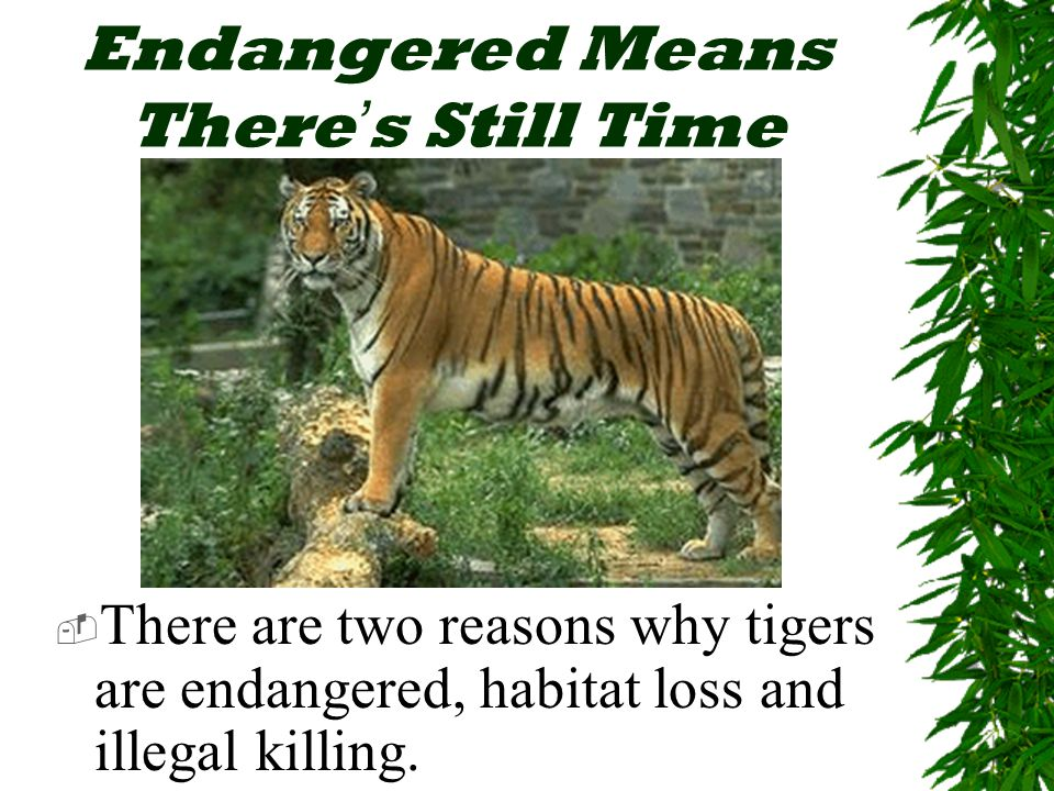 Endangered Means There ' s Still Time  There are two reasons why tigers are endangered, habitat loss and illegal killing.