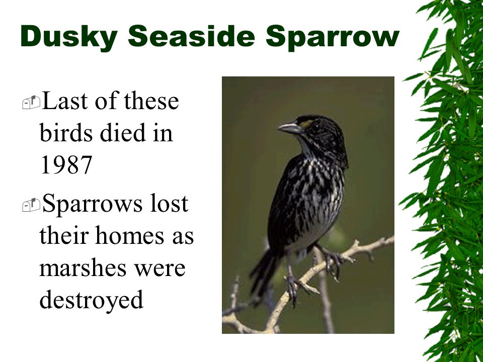 Dusky Seaside Sparrow  Last of these birds died in 1987  Sparrows lost their homes as marshes were destroyed