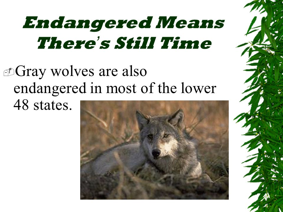 Endangered Means There ' s Still Time  Gray wolves are also endangered in most of the lower 48 states.