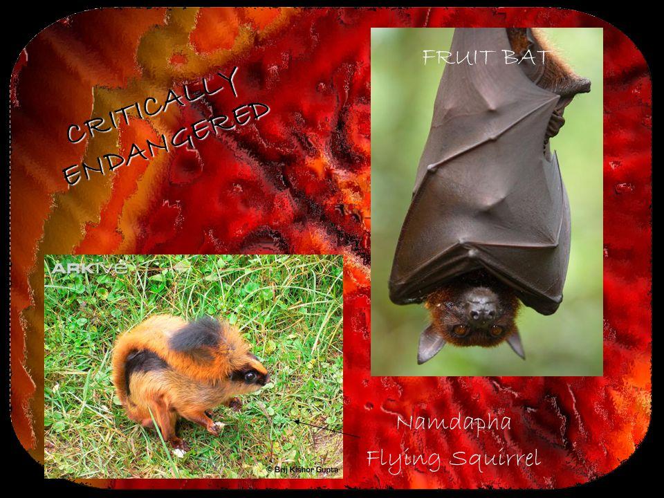 FRUIT BAT Namdapha Flying Squirrel CRITICALLY ENDANGERED