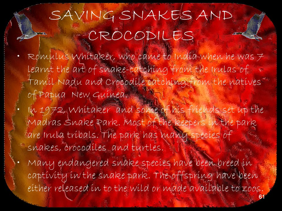 61 SAVING SNAKES AND CROCODILES Romulus Whitaker, who came to India when he was 7 learnt the art of snake-catching from the Irulas of Tamil Nadu and C