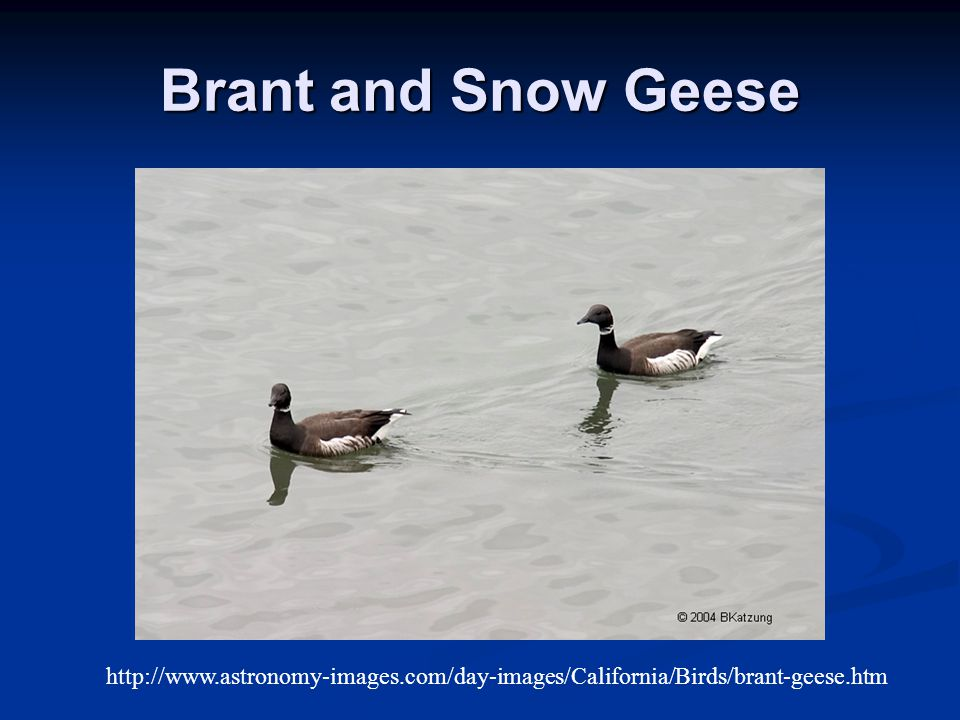 Brant and Snow Geese http://www.astronomy-images.com/day-images/California/Birds/brant-geese.htm