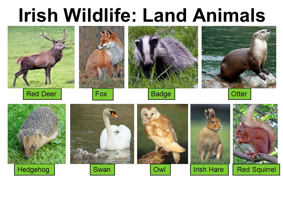 Irish Wildlife: Land Animals Red Deer Irish Hare Badge Hedgehog Otter Swan Fox Red SquirrelOwl