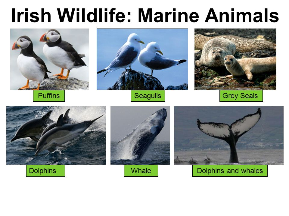 Irish Wildlife: Marine Animals PuffinsSeagulls Dolphins Grey Seals Dolphins and whalesWhale