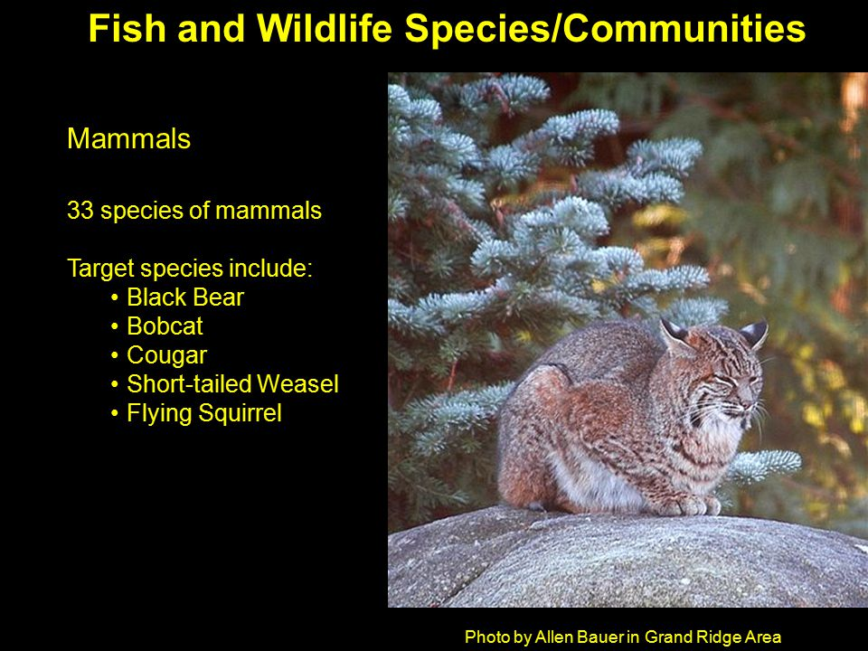 Photo by Allen Bauer in Grand Ridge Area Mammals 33 species of mammals Target species include: Black Bear Bobcat Cougar Short-tailed Weasel Flying Squirrel Fish and Wildlife Species/Communities