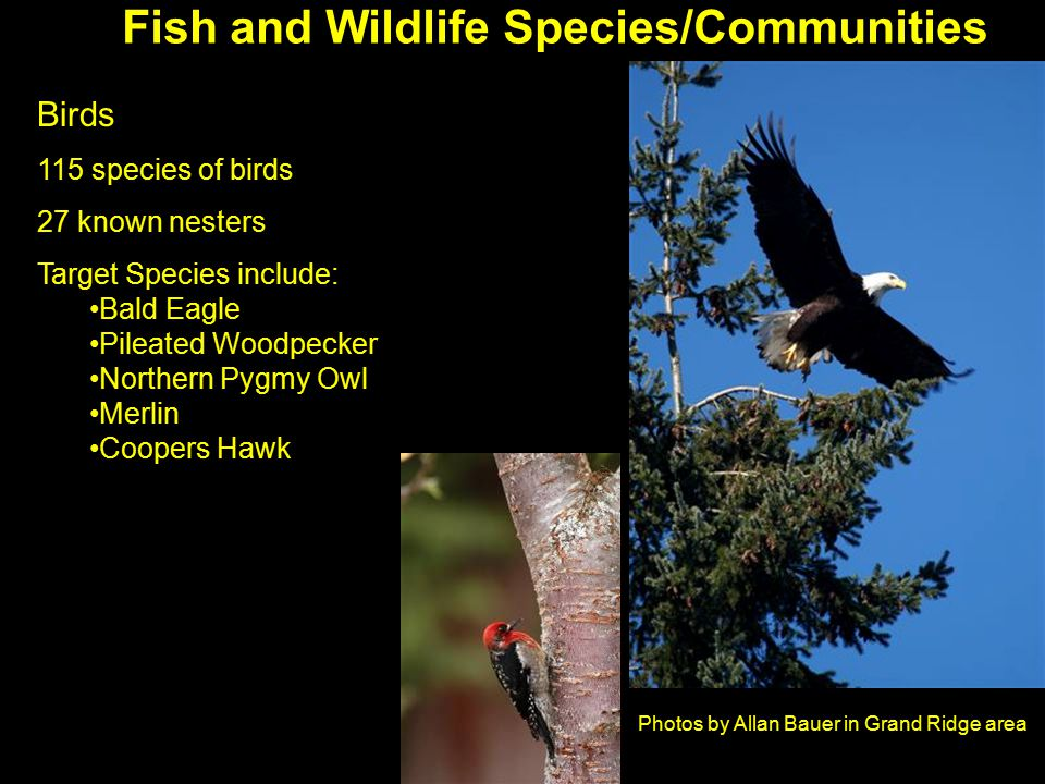 Photos by Allan Bauer in Grand Ridge area Birds 115 species of birds 27 known nesters Target Species include: Bald Eagle Pileated Woodpecker Northern Pygmy Owl Merlin Coopers Hawk Fish and Wildlife Species/Communities