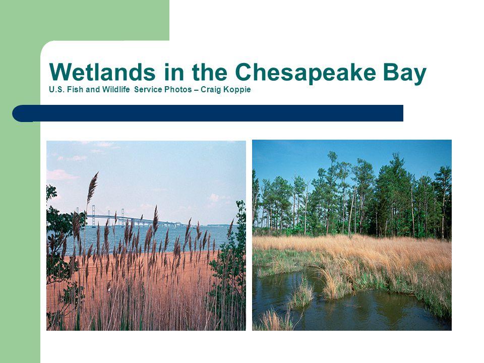 Wetlands in the Chesapeake Bay U.S. Fish and Wildlife Service Photos – Craig Koppie