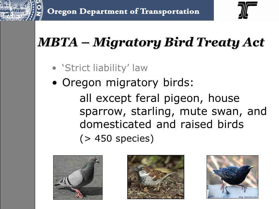 MBTA – Migratory Bird Treaty Act 'Strict liability' law Oregon migratory birds: all except feral pigeon, house sparrow, starling, mute swan, and domes