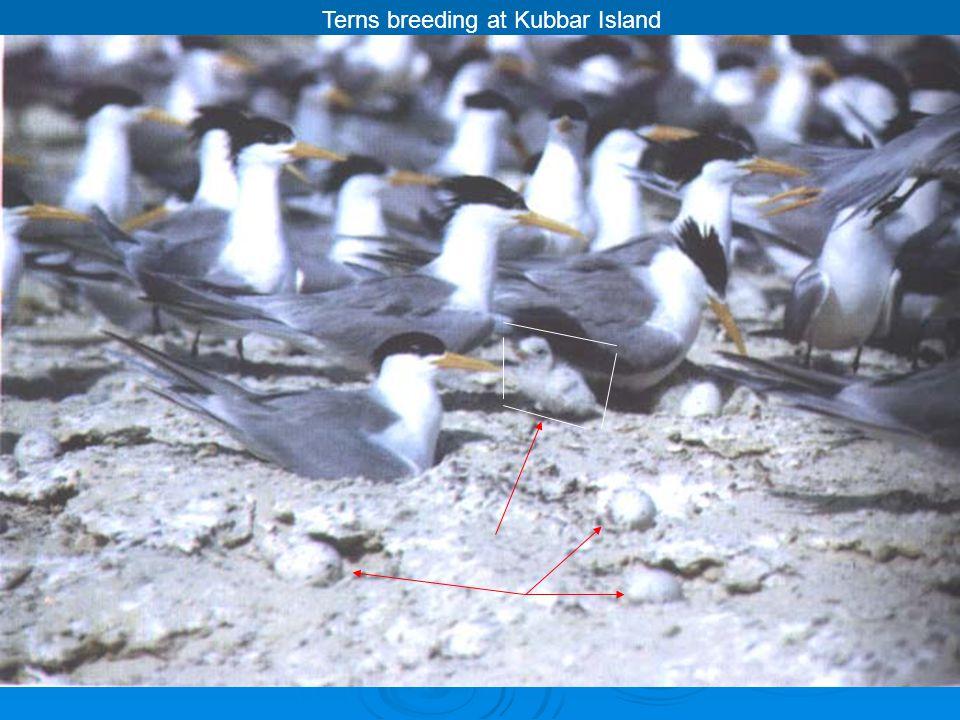 Terns breeding at Kubbar Island