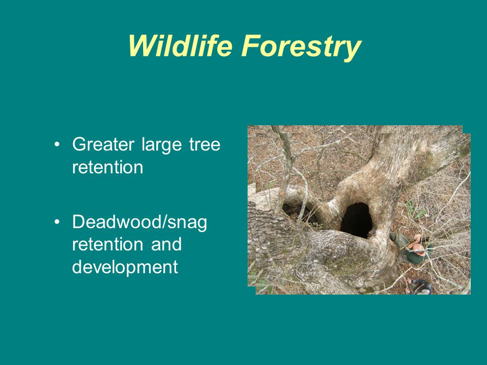 Wildlife Forestry Greater large tree retention Deadwood/snag retention and development