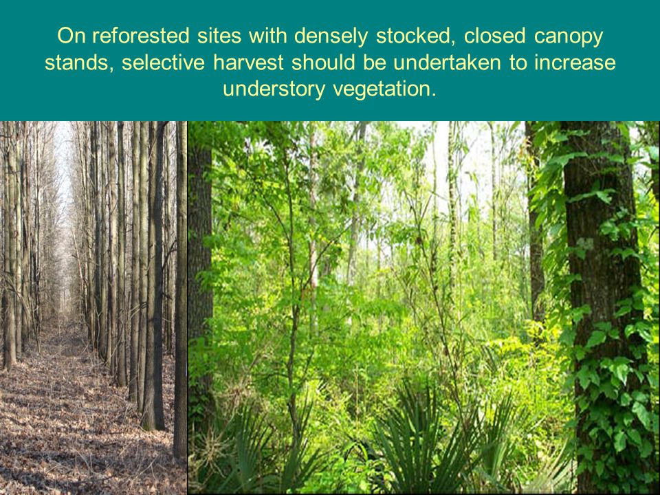 On reforested sites with densely stocked, closed canopy stands, selective harvest should be undertaken to increase understory vegetation.