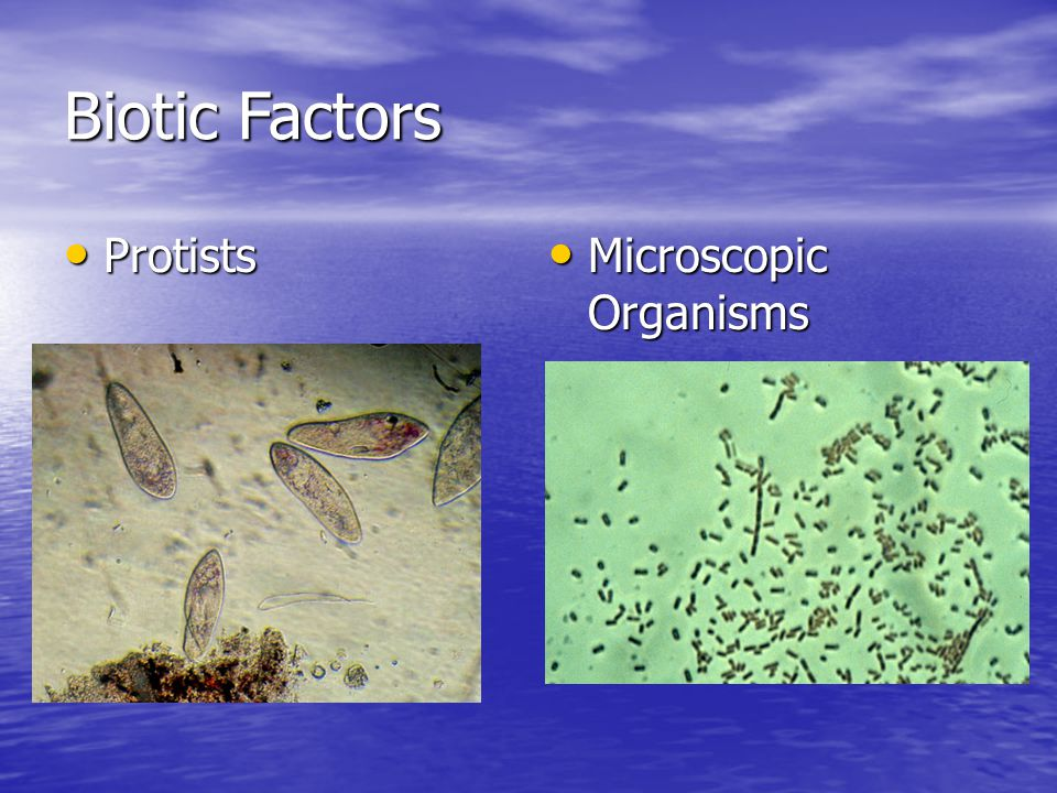 Biotic Factors Protists Protists Microscopic Organisms Microscopic Organisms