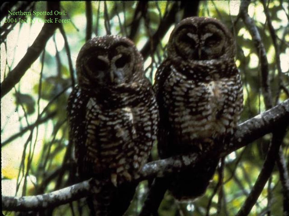 Northern Spotted Owl: 2004 Jacoby Creek Forest