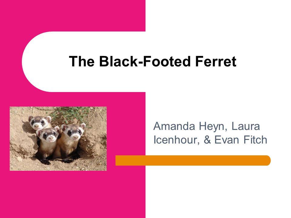 Amanda Heyn, Laura Icenhour, & Evan Fitch The Black-Footed Ferret