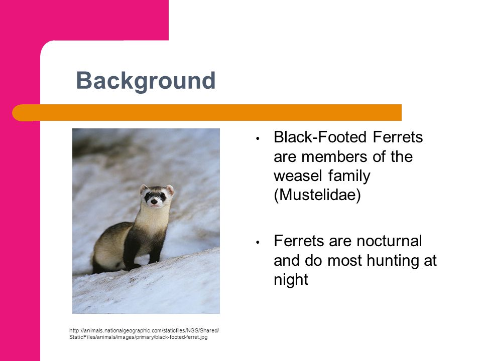 Background Black-Footed Ferrets are members of the weasel family (Mustelidae) Ferrets are nocturnal and do most hunting at night http://animals.nation