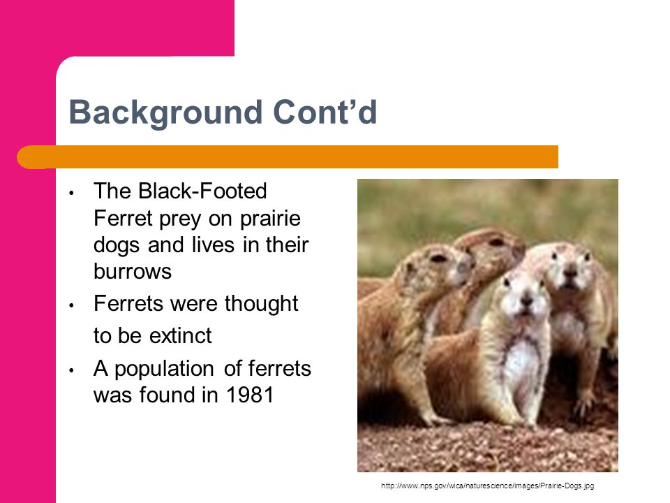 Background Cont'd The Black-Footed Ferret prey on prairie dogs and lives in their burrows Ferrets were thought to be extinct A population of ferrets w