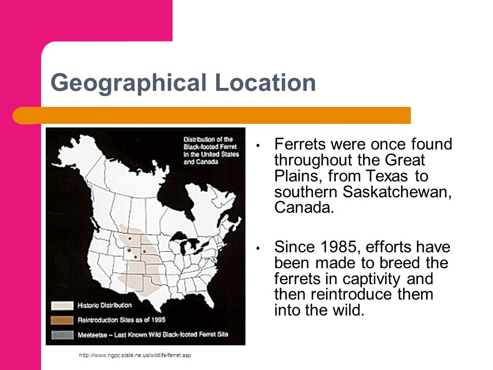 Geographical Location Ferrets were once found throughout the Great Plains, from Texas to southern Saskatchewan, Canada. Since 1985, efforts have been