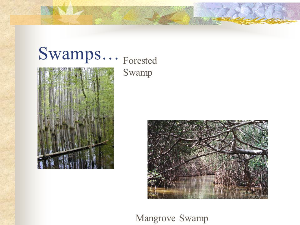 Swamps… Forested Swamp Mangrove Swamp