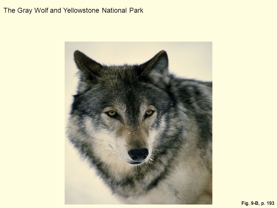 Fig. 9-B, p. 193 The Gray Wolf and Yellowstone National Park