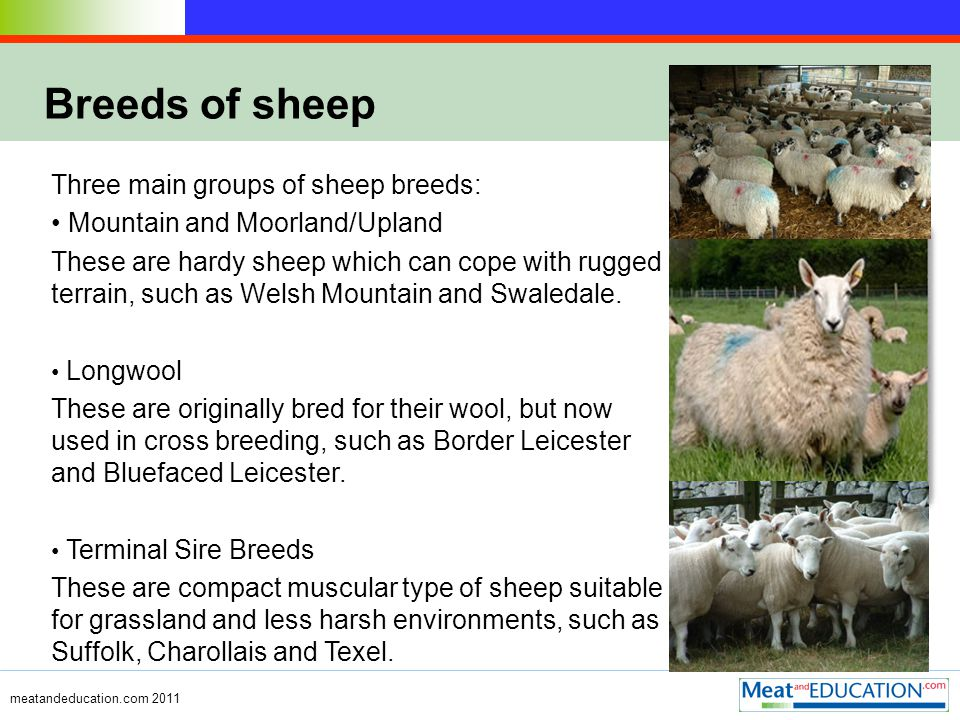 meatandeducation.com 2011 Breeds of sheep Three main groups of sheep breeds: Mountain and Moorland/Upland These are hardy sheep which can cope with rugged terrain, such as Welsh Mountain and Swaledale.