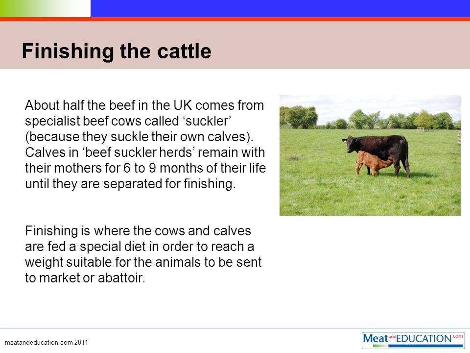 meatandeducation.com 2011 Diet of cattle Most animals spend the summer months in fields grazing and many are housed in large barns in the winter when the grass has stopped growing.
