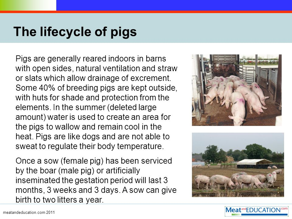 meatandeducation.com 2011 The lifecycle of pigs Pigs are generally reared indoors in barns with open sides, natural ventilation and straw or slats which allow drainage of excrement.
