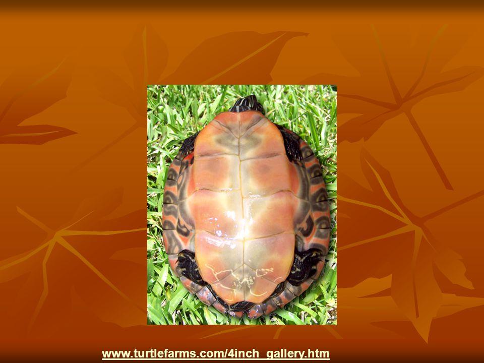 www.turtlefarms.com/4inch_gallery.htm