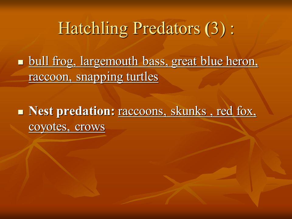 Hatchling Predators (3) : bull frog, largemouth bass, great blue heron, raccoon, snapping turtles bull frog, largemouth bass, great blue heron, raccoon, snapping turtles Nest predation: raccoons, skunks, red fox, coyotes, crows Nest predation: raccoons, skunks, red fox, coyotes, crows