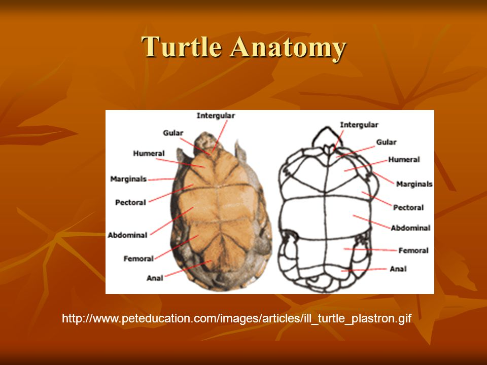 Turtle Anatomy http://www.peteducation.com/images/articles/ill_turtle_plastron.gif