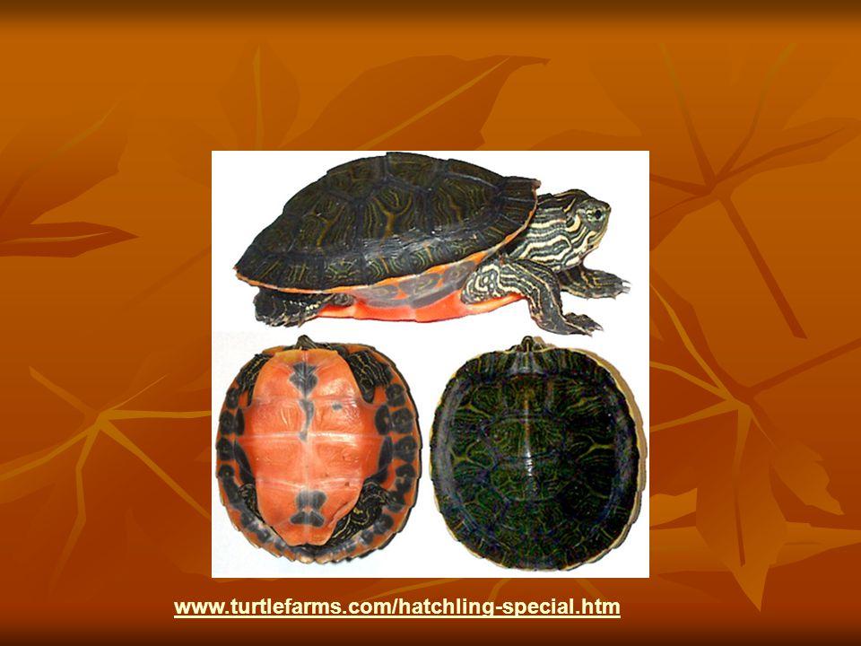 www.turtlefarms.com/hatchling-special.htm