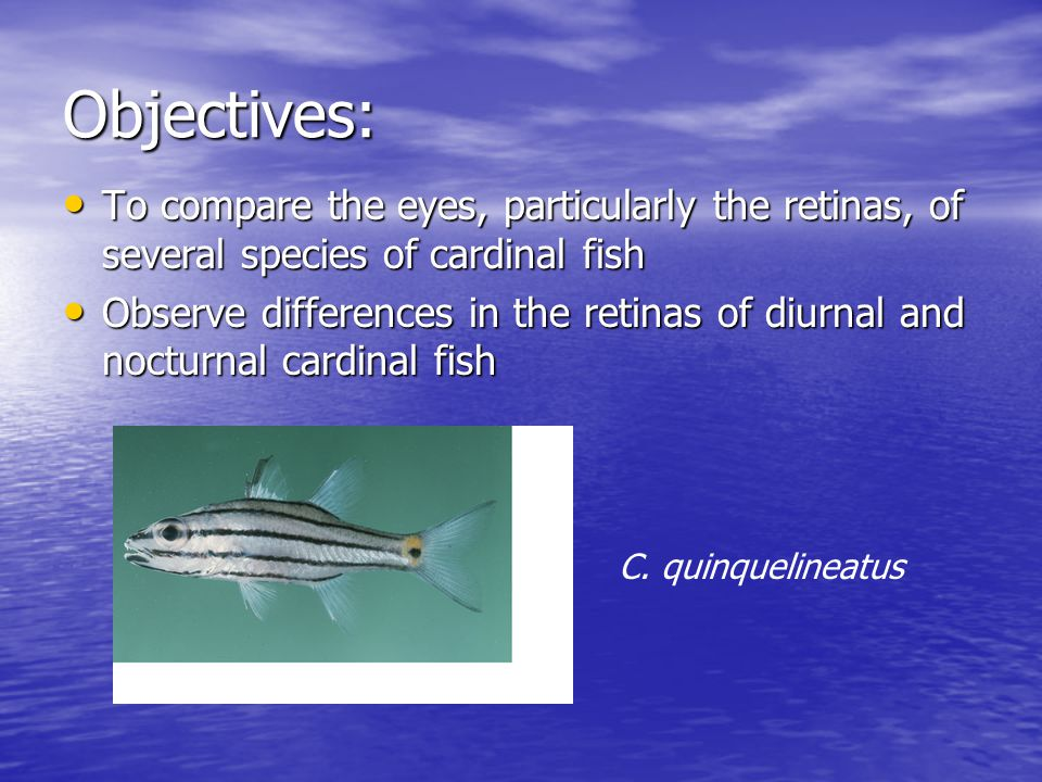 Objectives: To compare the eyes, particularly the retinas, of several species of cardinal fish To compare the eyes, particularly the retinas, of several species of cardinal fish Observe differences in the retinas of diurnal and nocturnal cardinal fish Observe differences in the retinas of diurnal and nocturnal cardinal fish C.