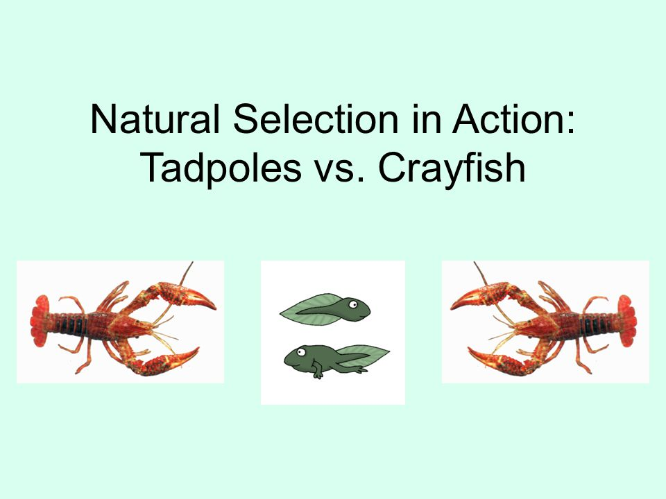 Natural Selection in Action: Tadpoles vs. Crayfish