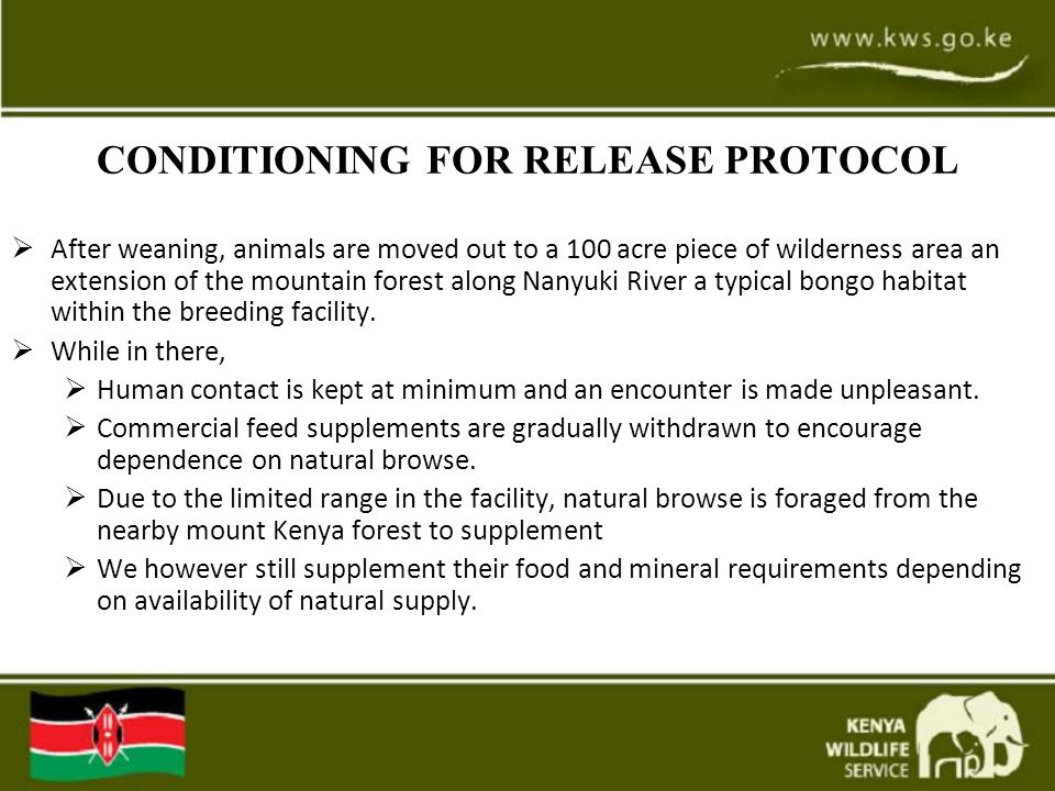 CONDITIONING FOR RELEASE PROTOCOL  After weaning, animals are moved out to a 100 acre piece of wilderness area an extension of the mountain forest along Nanyuki River a typical bongo habitat within the breeding facility.