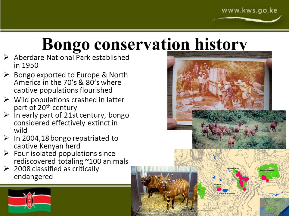 Bongo conservation history  Aberdare National Park established in 1950  Bongo exported to Europe & North America in the 70's & 80's where captive populations flourished  Wild populations crashed in latter part of 20 th century  In early part of 21st century, bongo considered effectively extinct in wild  In 2004,18 bongo repatriated to captive Kenyan herd  Four isolated populations since rediscovered totaling ~100 animals  2008 classified as critically endangered ● ● ● ● ● ● ● ● ● ● ● ●● ● ● ●● ● ● ● ● ● ● ● ● ●●