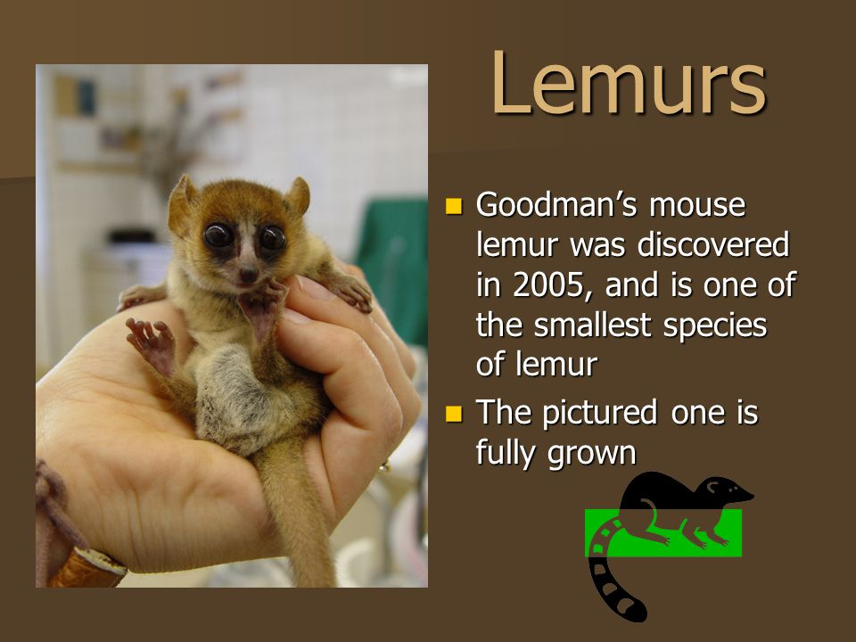 Lemurs Goodman's mouse lemur was discovered in 2005, and is one of the smallest species of lemur Goodman's mouse lemur was discovered in 2005, and is