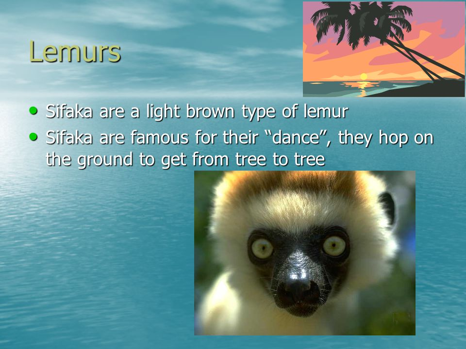 Lemurs Sifaka are a light brown type of lemur Sifaka are famous for their dance , they hop on the ground to get from tree to tree
