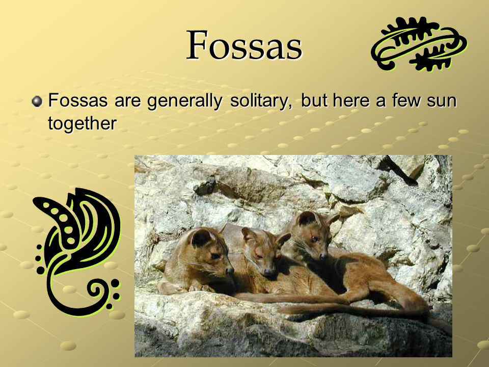Fossas Fossas are generally solitary, but here a few sun together