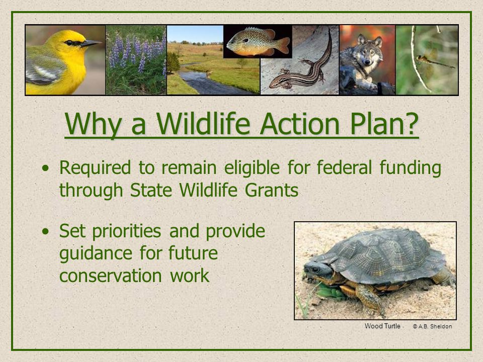Required to remain eligible for federal funding through State Wildlife Grants Set priorities and provide guidance for future conservation work Wood Turtle © A.B.