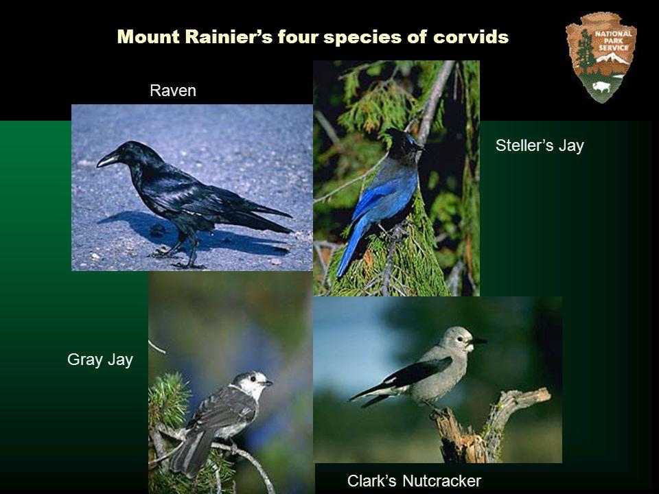 Steller's Jay Clark's Nutcracker Gray Jay Mount Rainier's four species of corvids Raven