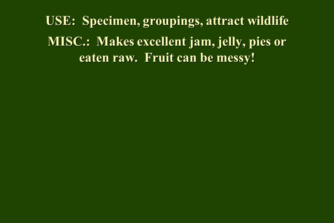USE: Specimen, groupings, attract wildlife MISC.: Makes excellent jam, jelly, pies or eaten raw.
