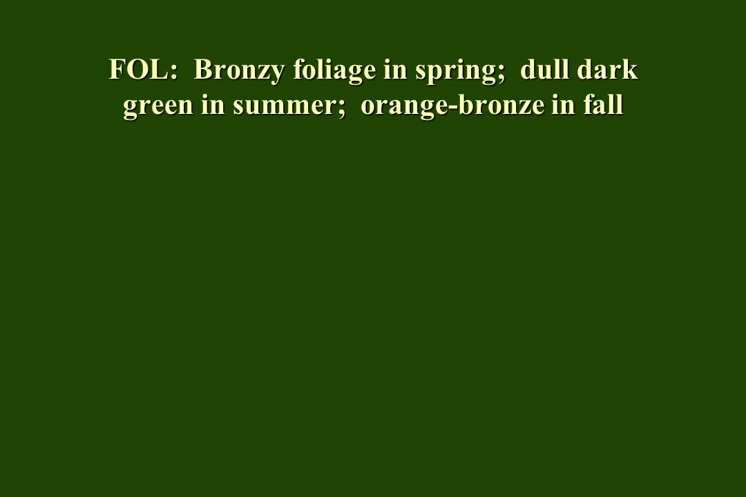FOL: Bronzy foliage in spring; dull dark green in summer; orange-bronze in fall