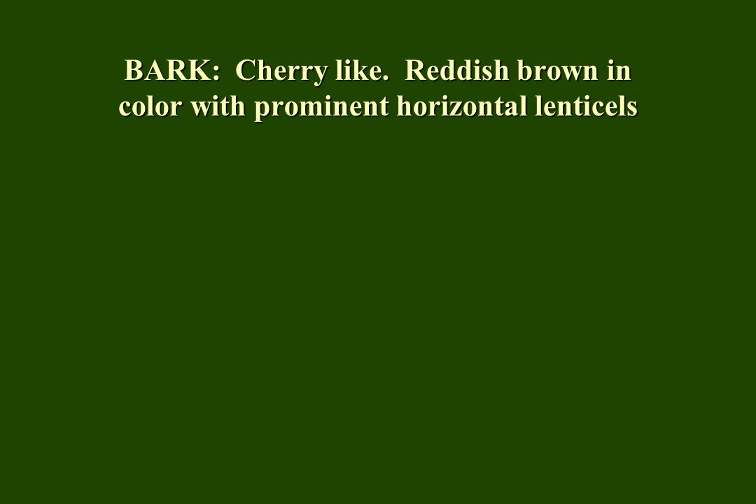 BARK: Cherry like. Reddish brown in color with prominent horizontal lenticels