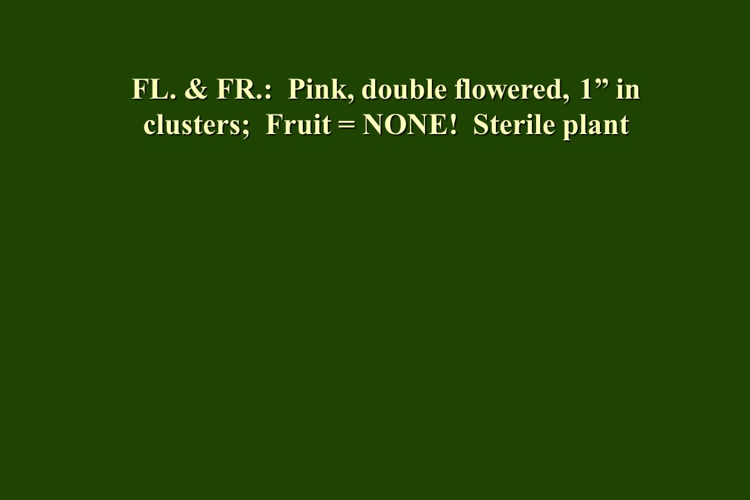 FL. & FR.: Pink, double flowered, 1 in clusters; Fruit = NONE! Sterile plant