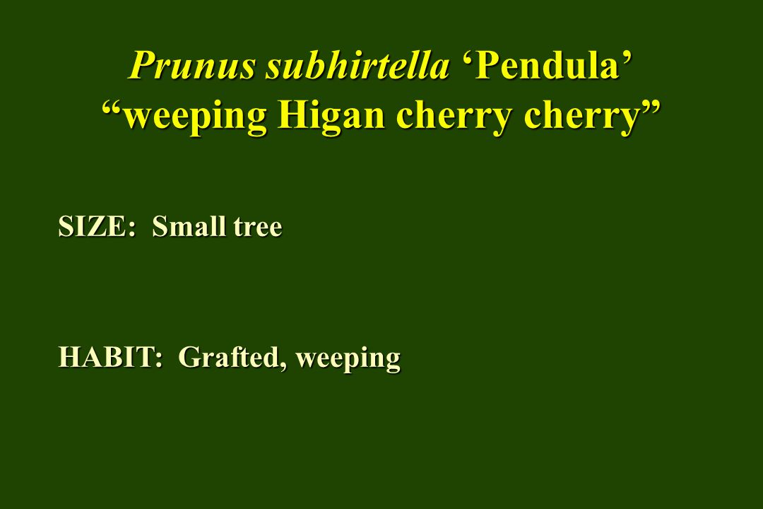 Prunus subhirtella 'Pendula' weeping Higan cherry cherry SIZE: Small tree HABIT: Grafted, weeping