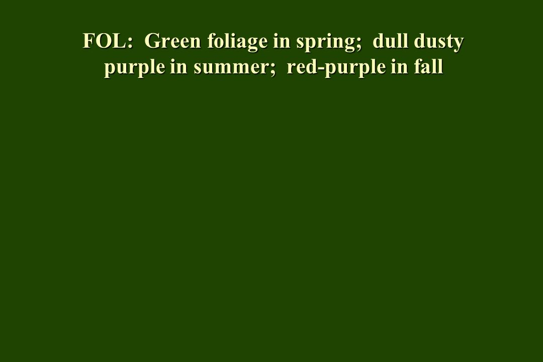 FOL: Green foliage in spring; dull dusty purple in summer; red-purple in fall