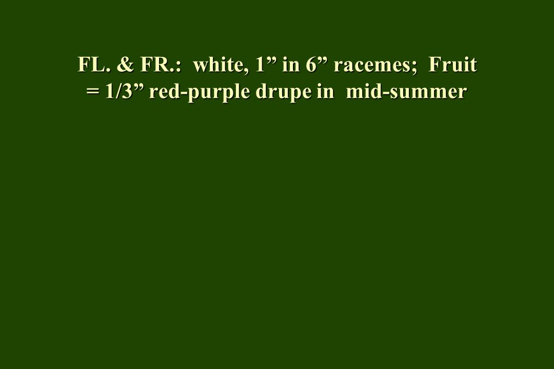 FL. & FR.: white, 1 in 6 racemes; Fruit = 1/3 red-purple drupe in mid-summer